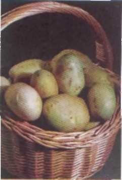 brambor-obecny-solanum-tuberosum