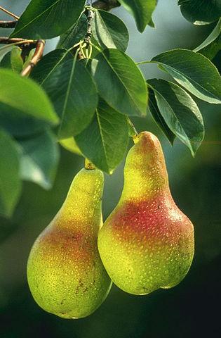 Hruška - léčivé ovoce