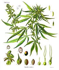 Cannabis Sativa (konopí seté)